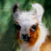Woosterville Mini-Llama Farm logo